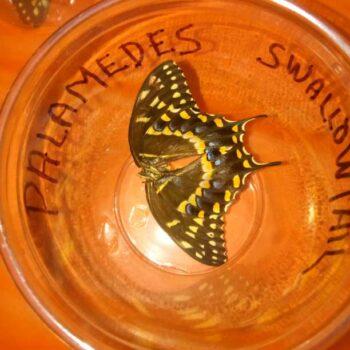 Palomedes Swallowtail