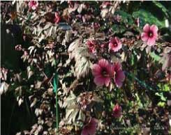 Cranberry Hibiscus from Pine Manor Community Garden