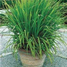 Lemon Grass from Pine Manor CommunityGarden
