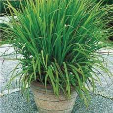 Lemon Grass from Pine Manor CommunityGarden