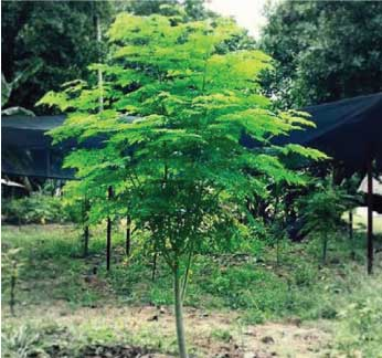 Moringa Tree from Pine Manor Community Garden