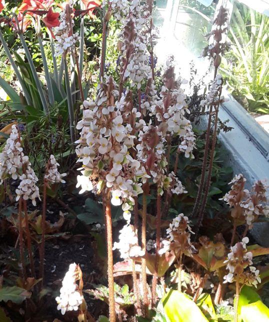 Begonias - Sherie Bleiler