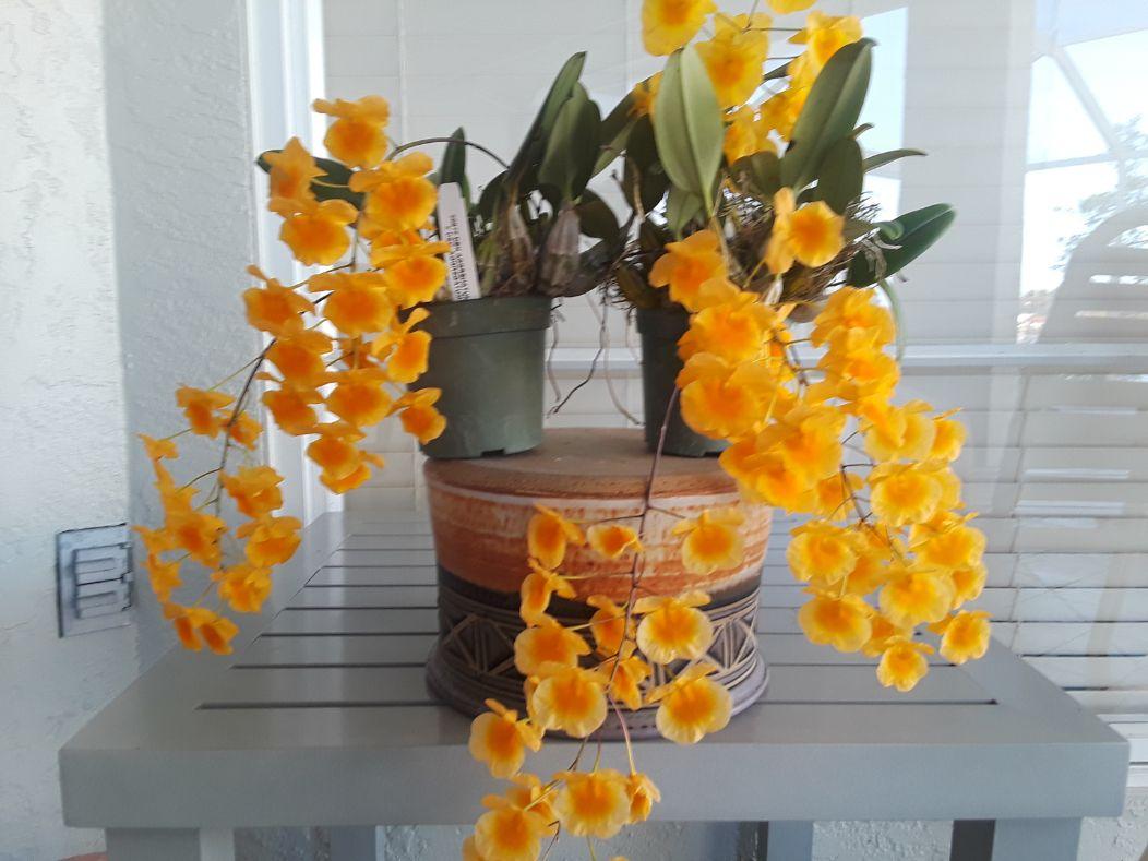 Orchid Dendrobium aggregatum - Sherie Bleiler