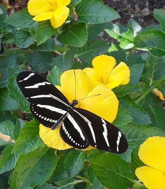 Zebra Longwing Butterfly on a Buttercup Flower