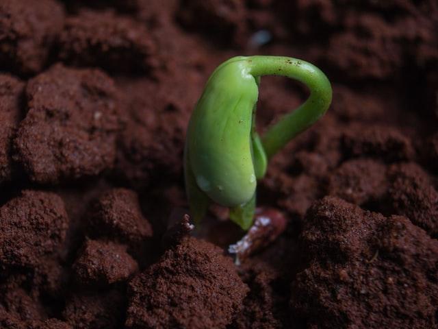 seedling emerging