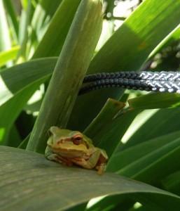 frog-in-garden