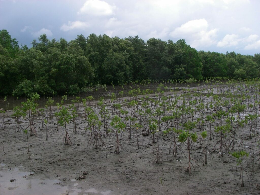 Mangrove reforestation in thailand