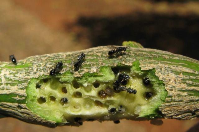 Gall-Wasp