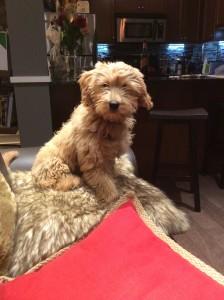 Abbey on a puppy visit