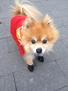 Simba Pomerianian dog on walk in downtown Toronto with coat and boots.