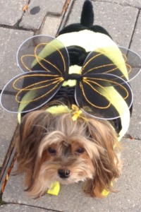 Terrier named Baby dressed up as bumble bee.