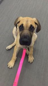 Penny Grade Dane puppy.
