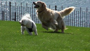 2 dogs playing in Toronto park off leash.