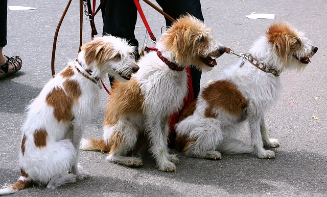 Dogs on a walk.