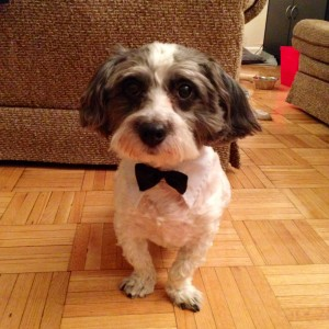 Cute dog with bow tie.
