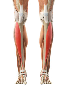 picture of the anterior tibialis muscle