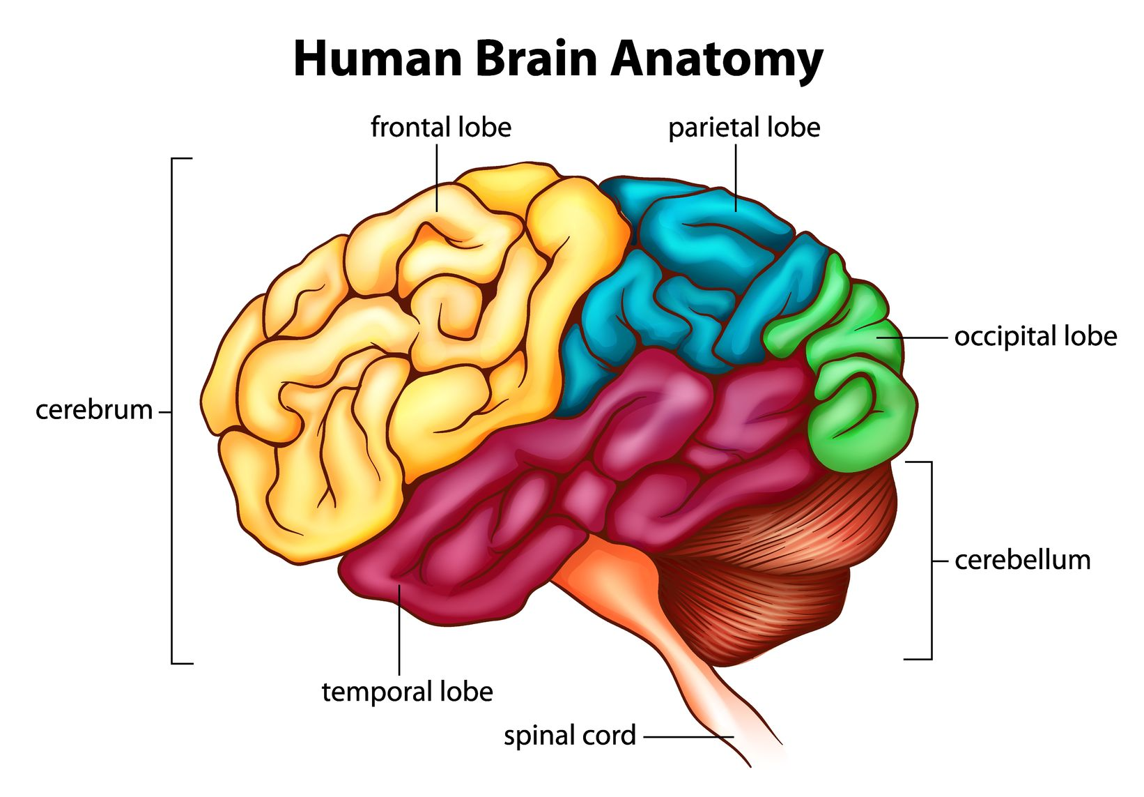 diagram of parts of the brain