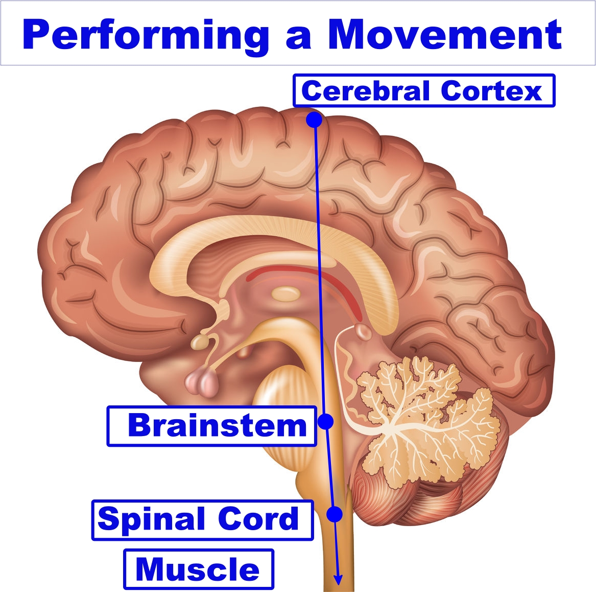 vector image of the brain areas involved in performing a movement