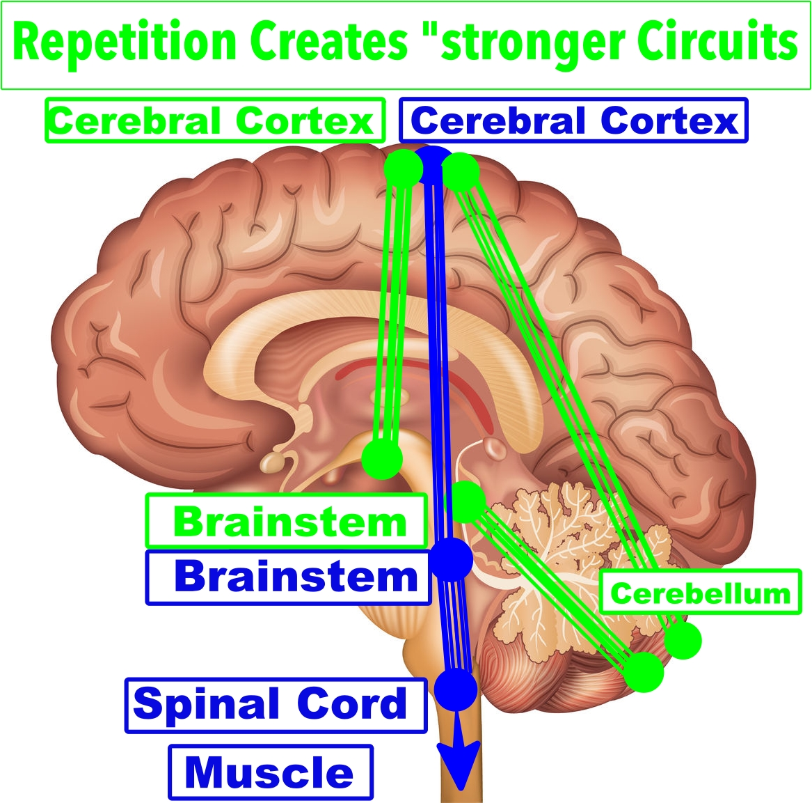 vector image of the brain with repetition