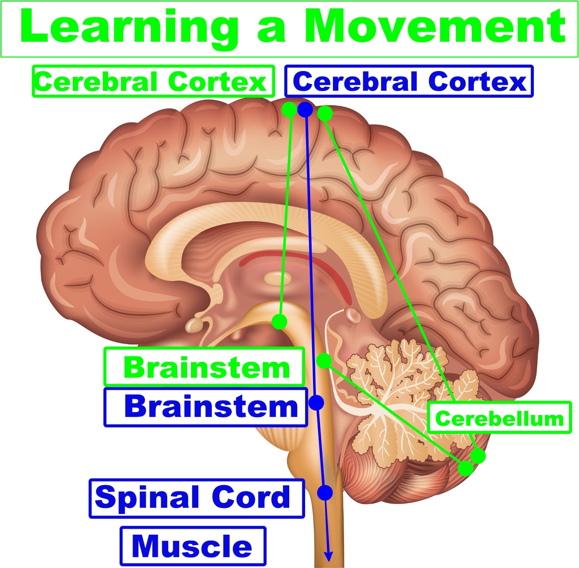 vector image of the brain regions involved in learning a movement