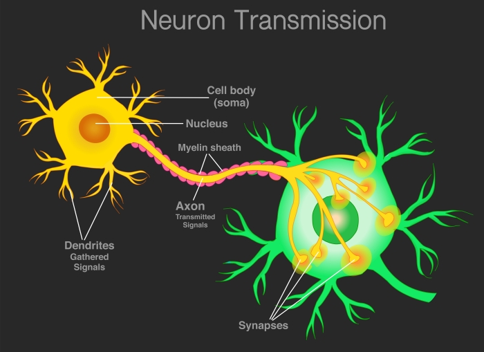 nerve and synapse image