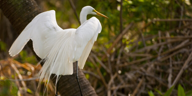 Great-egret Wildlife at Silver Spring
