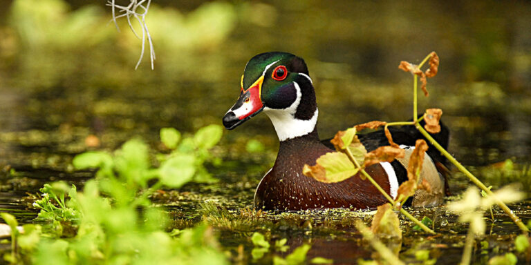 Wood-Duck Wildlife at Silver Spring