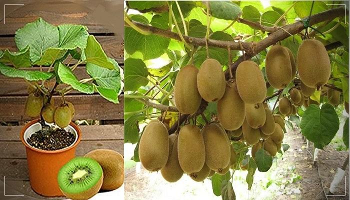 Cómo plantar kiwis en macetas – Paso a paso