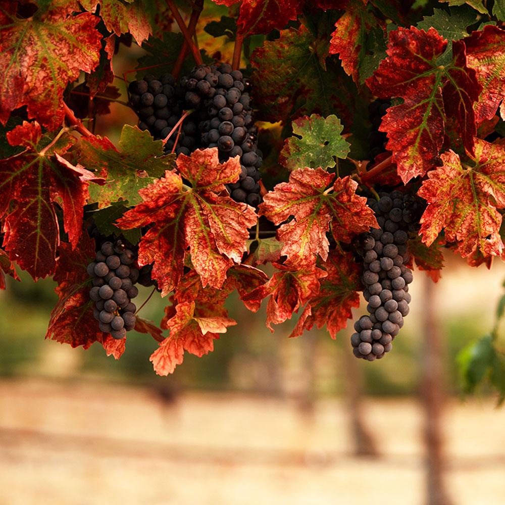 Hunter Valley private tour wine vineyard