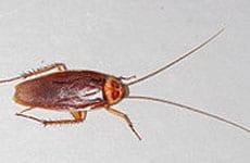 img_0005_american-cockroach