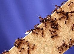 new fire ants