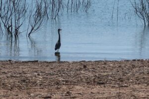 An ardea (a type heron) hanging out in Lake Travis
