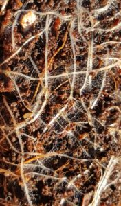 Dense root hairs on a wombok seedling grown in in a worm cast mix