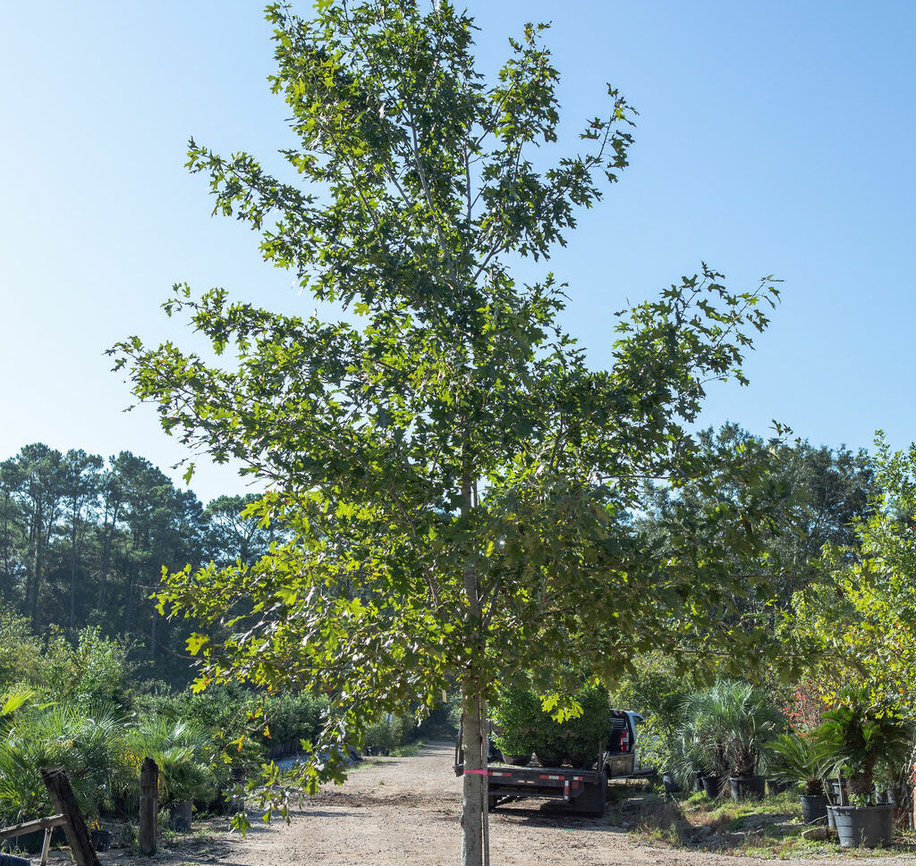 red-oak-tree