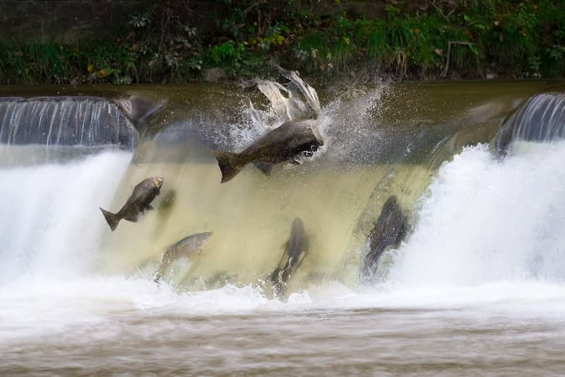 Dams and Fish Can Live Together Thanks to Whooshh cm 1