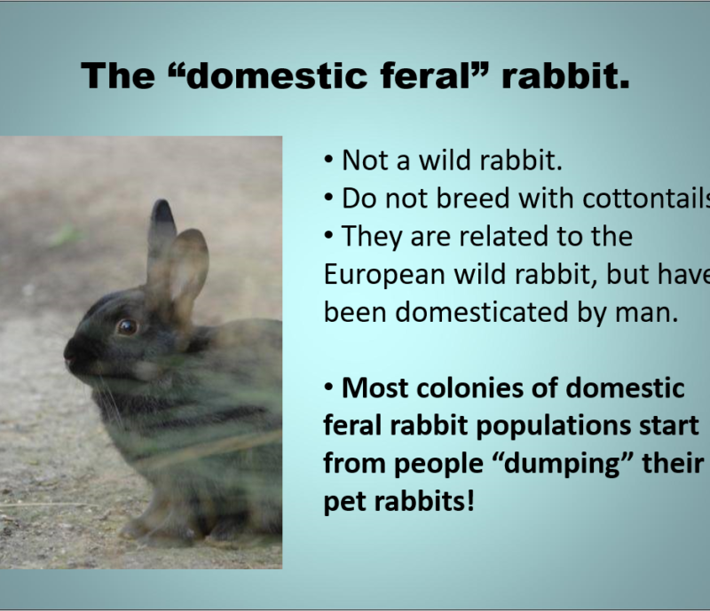 The Domestic Feral Bunny