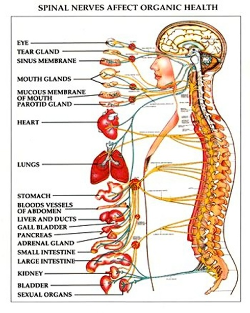 Organ Relationship to Spinal Cord