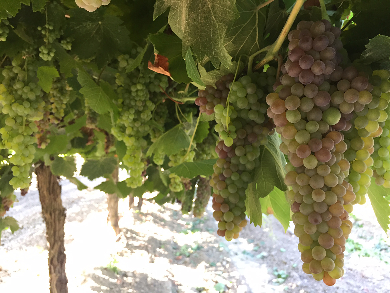 Strawberry Grapes 101 l strawberry grapes on the vine