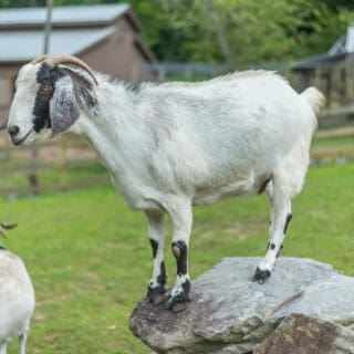 A goat is climbing a rock - The Cove at Fairview Vacation Rentals - Asheville NC