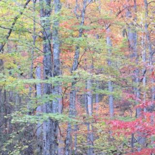 Woods in the Fall at The Huntley - The Cove at Fairview Vacation Rentals - Asheville NC