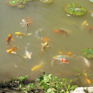 Koi fish - The Cove at Fairview - Vacation Rentals - Asheville, NC