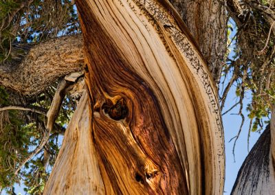 Bristlecone pines -23