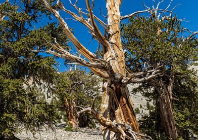 Bristlecone pines -36