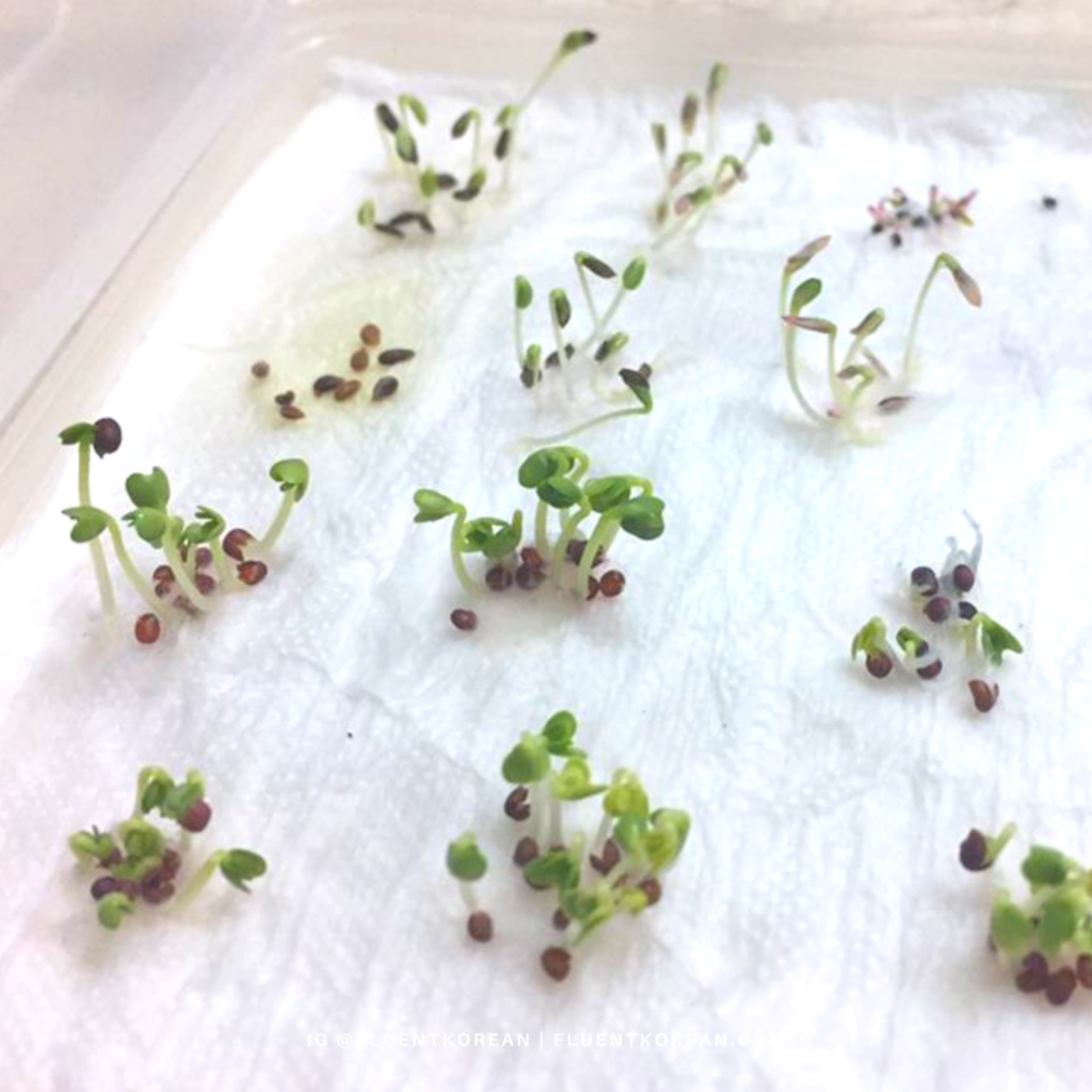 Germinating seeds using the paper towel method