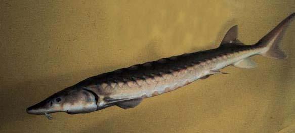 shortnose sturg male (1)
