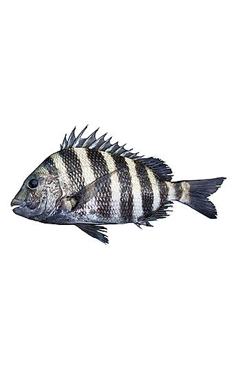 Sheepshead fish isolated on white