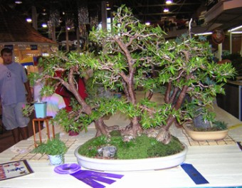 Best of Show: Ron Heinen, Ames—Ficus Nerifolia Forest