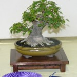 Best of Show and First Place, Shohin Class 2009 Iowa State Fair, Trident maple, Helene Magruder