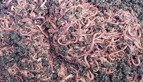 just worms