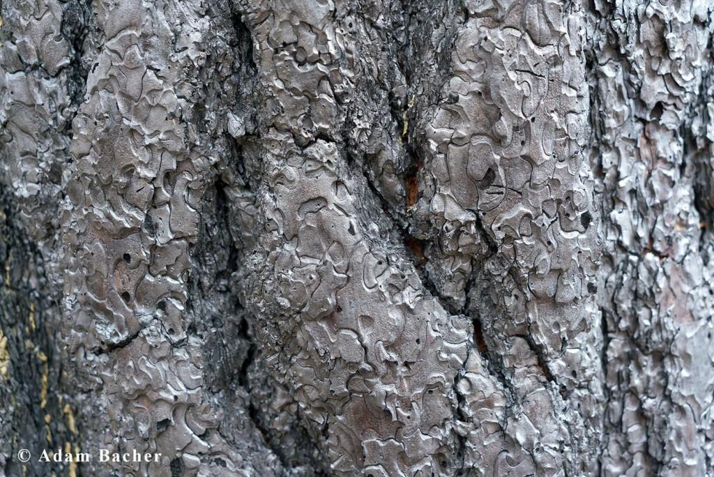 Paul Hessburg, forest fire burnt tree bark